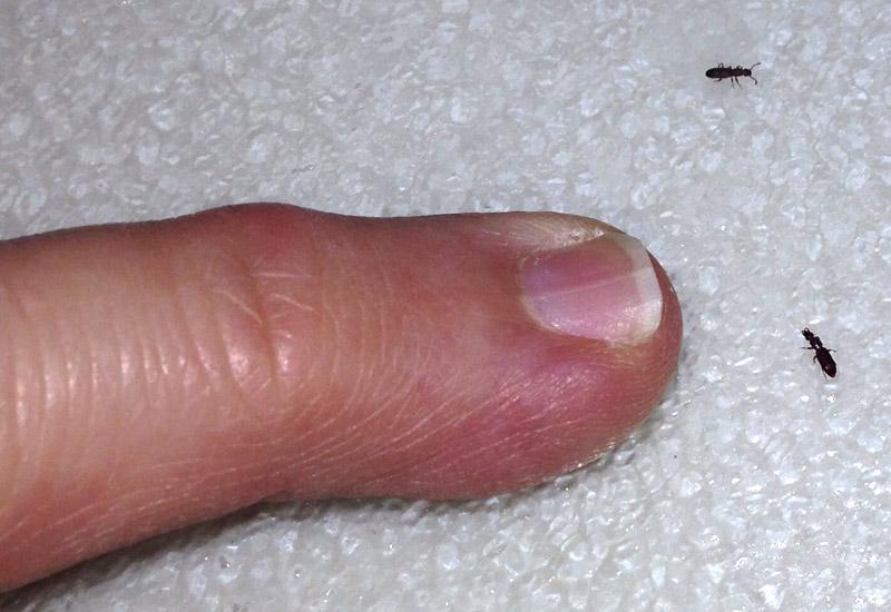 Larder Beetles Bedbugs
