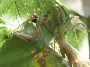 Green Lynx Spider eats California Mantis