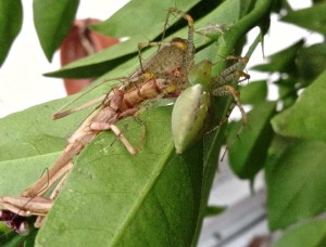 Green Lynx Spider feeds on California Mants