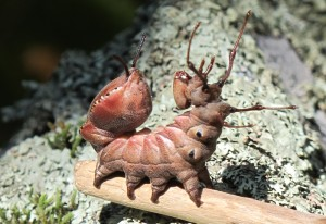 Lobster Caterpillar