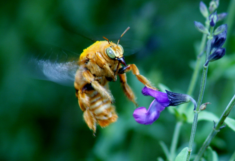 Male Valley Carpenter Bee What S That Bug