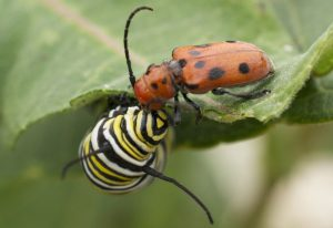 Monarch Caterpillar meets Red Milkweed Beetle