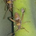 Leaf Footed Bug Nymphs:  genus Narnia