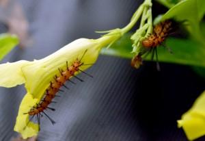 Oleander Caterpillars