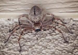 Giant Crab Spider