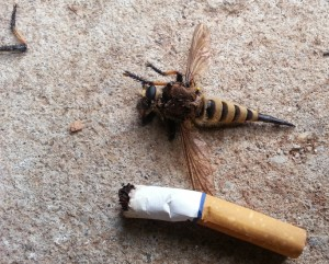 What Killed the Red Footed Cannibalfly???