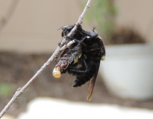 Robber Fly eats Prey