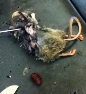 Rodent Bot Fly Larva removed from Dissected Mouse