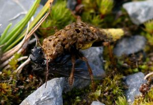 Brown and Gold Rove Beetle eats Blow Fly