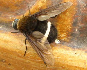 Probably Tachinid Fly