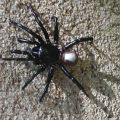 Trapdoor Spider genus Ummidia