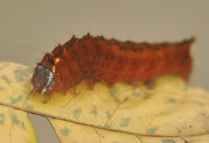 Unknown Moth Caterpillar