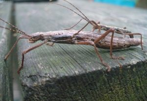 Probably Northern Walkingsticks Mating