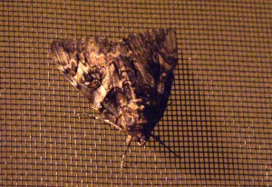 Walnut Underwing