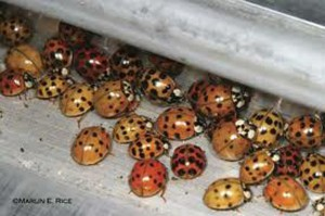 Multicolored Asian Lady Beetle aggregation