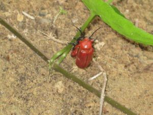 Blister Beetle:  Horia species