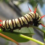 Milkweed Butterfly Caterpillar