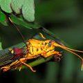 Rare Peruvian Grasshoppers:  Hippacris diversa