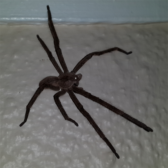 Huntsman Spider from S...