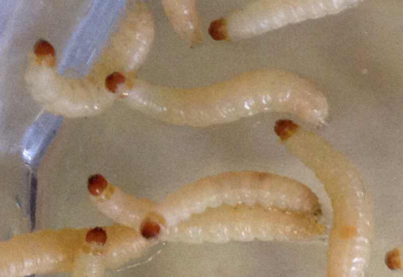White Larvae In Kitchen