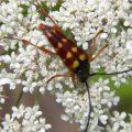 Flower Longhorn:  Typocerus deceptus