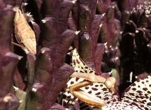 Possibly female California Mantis