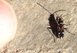 Dirt Colored Seed Bug:  Rhyparochromus vulgaris
