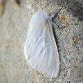 Satin Moth