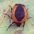 Scarab Beetle:  Pachnoda species