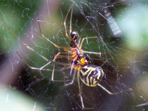 Unknown Mating Spiders
