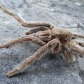 What Killed the Tarantula???