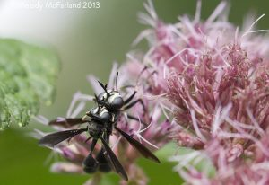 Mating Thick Headed Flies