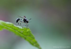 Thick Headed Fly