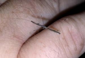 Thread Legged Bug