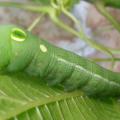 Vine Hawkmoth Caterpillar