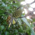 Female and Male Orbweaver