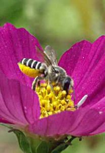 Leaf Cutter Bee on Cosmos