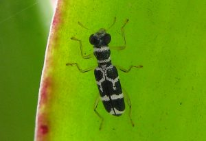 Possibly Checkered Beetle