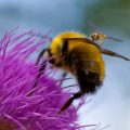 Golden Northern Bumble Bee attacked by possibly Tachinid Fly