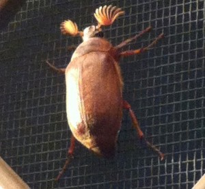 Cane Grub or Brown Cockchafer