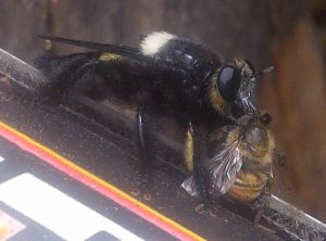 Carpenter Bee Robber Fly eats Honey Bee