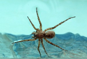 or more generally a Nursery Web Spider