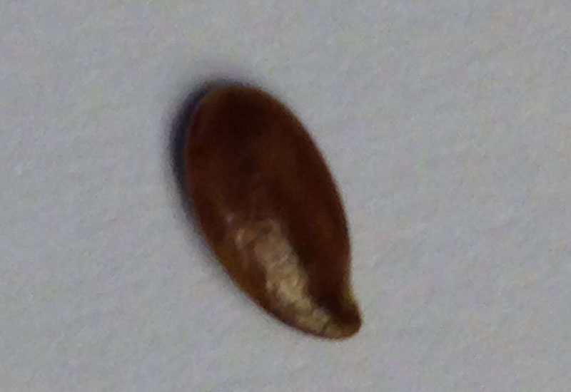 Seedlike Object Found In Bed What S That Bug