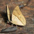 Leafwings:  Archaeoprepona amphimachus