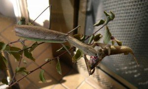 Mantid eats Minnow