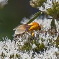 Possibly Diurnal Arctiid Moth