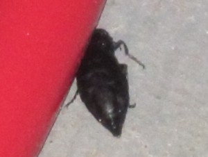 Possibly Oil Beetle