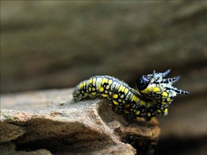 Introduced Pine Sawfly Larva