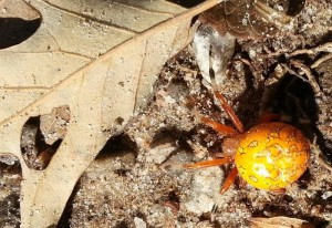 Pumpkin Spider is Harmless to Humans, but not to flying insects.