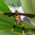 Wasp-Mimic Clearwing Moth